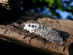 Leopard Moth (Zeuzera pyrina)